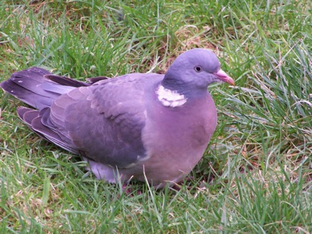 Pigeony