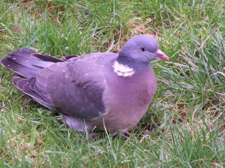 Pigeonz